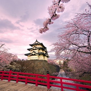 Festive Sakura