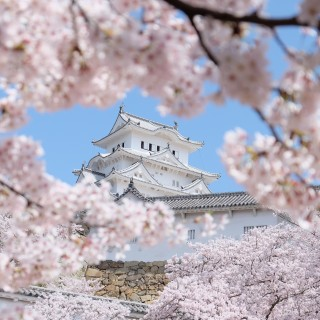 Classic Sakura